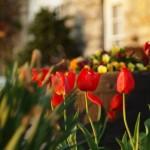 Overland Park Tulips